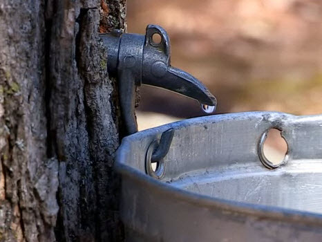 maple sap tap